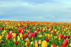 Tulip Field Photo by Karmel Photography -- National Geographic Your Shot