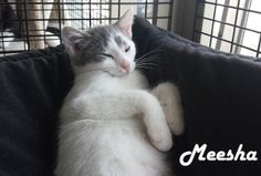 Hello... My name is Meesha!! My family was left in a box on a doorstep and we are now here at Whis-Purr Rescue. We are sharing this BIG cage with some other friends too! I am really adorable and love attention. My sibs and I are looking to find great homes like that one that you have :)! Could you come on down for a visit and playtime with us?   If you are interested in adopting these cats or any other one listed here please call 877-307-2747 or email adopt@whis-purr.org