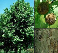platanus hispanica (platano de sombra) Arbol de hoja caduca que puede alcanzar hasta 20-30 metros. Prefiere suelos frescos y profundos y se muestgra indiferente a la textura y pH del terreno. Florece en abril-mayo