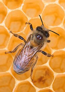 Reconstruyen la historia evolutiva de la abeja doméstica en la Península, que se remonta a un millón de años | EROSKI CONSUMER