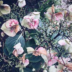 Just about past their best but still beautiful #hydrangea #mygarden #naturesbeauty #upandautumn #nature#autumn #pretty#natureinthehands#blooms#flowers#momentsofmine #capture #snapshot #instadaily #instaphoto #nothingisordinary#allinthedetails