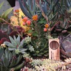 We couldn't help take a shot of the Magic–Flight Launch Box in this succulent garden we came across in Old Town State Park yesterday. Such beauty!