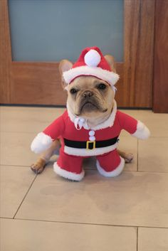 Alfie the French Bulldog in a Santa Suit for Christmas ❤️