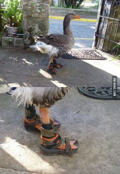 In case you haven't seen a goose wearing sandals today