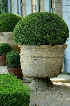 Topiary boxwood in cement urn. Boxwood Garden, Garden Urns, Diy Garden, Garden Planters, Dream Garden, Garden Projects, Garden Landscaping, Boxwood Planters, Terrace Garden
