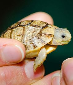 Egyptian tortoise #tortoise #febulous #animals