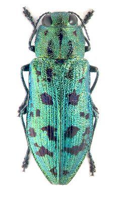 Buprestidae: Palmar virgata