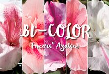 Bicolor azaleas add a touch of the unexpected to gardens, with layers of color that beckon for a closer look. Browse our five distinct varieties for the one that speaks to you!
