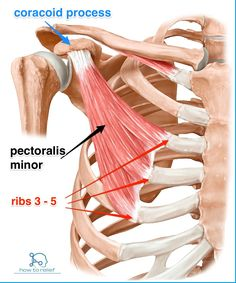 The pectoralis minor muscle is the muscle of the month. A simple and straight forward presentation of its attachments and function with application to yoga. Anatomy Study, Anatomy Reference, Shoulder Anatomy, Musculoskeletal System, Muscular System, Human Anatomy And Physiology, Muscle Anatomy, Massage Therapy, Physical Therapy