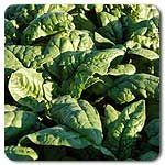 Samish F1 Hybrid Spinach