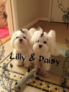 I have a Lily now, and if we ever get a second Maltese, her name will be Daisy!