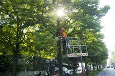 LUCE TRA I RAMI. #spalcatura in via Plava a Torino.  spalcatura – In #agraria, tipo di potatura che si pratica sia sugli alberi da frutto sia sulle piante forestali (olmo, quercia, frassino, ecc.): consiste nell'eliminazione dei rami dei palchi inferiori delle piante e può avere lo scopo di dare un assetto equilibrato alle singole chiome o quello di favorire l'aerazione e l'illuminazione del bosco (Treccani). www.coopagridea.org