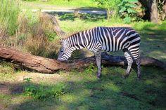 New to the Safari are the zebras.