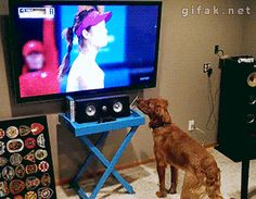 animated gif: adorable dog getting very excited about the tennis ball