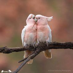 Pink Cockatoo no longer Major Mitchell. Cute Birds, Pretty Birds, Beautiful Birds, Animals Beautiful, Wildlife Nature, Nature Animals, Animals And Pets, Cute Baby Animals, Funny Animals