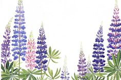 lupines from miss rumphius