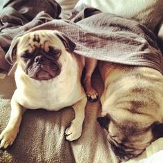 aww bless #pugs