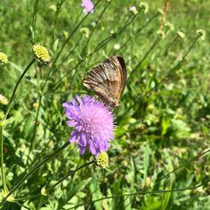 #sommer #summer #sumertime #blume #flower #flowers #schmetterling #butterfly #natur #nature