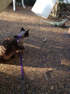 Whilst out on a walk Kenzo finds a new friend! #crazy #cat #lady #devon #rex
