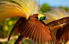 Greater Bird of Paradise (Paradisaea apoda). Adult male shaking his plumes as part of display. Badigaki Forest, Wokam Island in the Aru Islands, Indonesia. Photo 01.