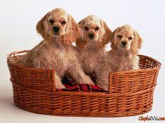Foto do cão spaniel