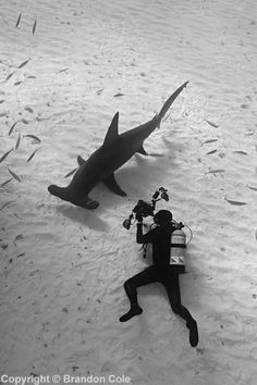 Looking for your next shark dive to get ready for Shark Week? Diving with great hammerheads in Bimini, Bahamas, is the newest, hottest shark aggregation.