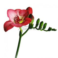 Red Freesia Flowers