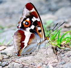 Zoology, Moth, Iris, Butterflies, Insects, Irises, Animal Science, Butterfly, Caterpillar