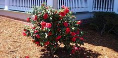Read this article for some tips on how to grow camellias and sasanquas in full sun, as well as the optimal light conditions for growing camellias in your yard. Full Sun Shrubs, Trees And Shrubs, Camelia Tree, Camellia Plant, Flowering Bushes, Garden Shrubs, Spring Blooms, Growing Vegetables, Flowers