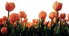 tulipee-2.png
