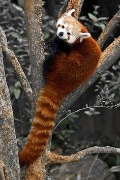 Red Panda - Flickr - Photo Sharing - native to the eastern Himalayas and southeastern China that has been classified as vulnerable - there are only 10,000 mature individuals remaining (wikipedia)