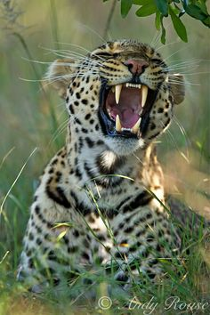 African Leopard by Andy Rouse