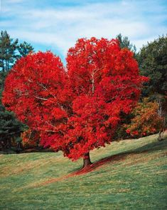 waited a whole year to get a shot of this heart shaped oak in the Fall. Needless to say the tree did NOT disappoint 😳😍❤️🍁🍂 📸 Scenery Pictures, Fall Pictures, Nature Pictures, Beautiful World, Beautiful Places, Global Holidays, Heart In Nature, Autumn Scenes, Photo Tree