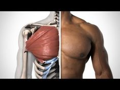 Let's learn the anatomy of the pecs so that you can draw an accurate chest. We'll study the basic shape, anatomical structure, origin, and insertion of the Pectoralis Major. Anatomy Study, Anatomy Drawing, Anatomy Reference, Art Reference, Muscle Anatomy, Body Anatomy, Human Anatomy, Lower Chest Workout, Chest Workout For Men