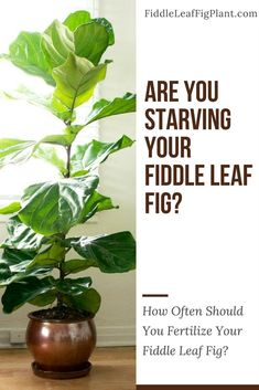 Fiddle leaf fig plants need fertilizer for proper growth because their leaves are large and dense. One common mistake people is neglecting to fertilize a fiddle leaf fig plant. This will result in slow growth and poor overall health for your plant. Hanging Plants, Indoor Plants, Garden Plants, Fig Plant Indoor, Ficus Tree Indoor, Fiddle Leaf Fig Tree, Fiddle Fig, Container Gardening, Gardening Tips