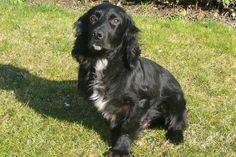 Mick (Black cocker spaniel with white chest)
