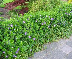 We talked about Vinca major - not sure it is right for the terrace beds but may be good in the bed at the top.  It has to grow quite high to benefit from the flowers.