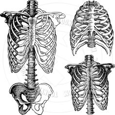 Vector Chest Skeleton Drawings