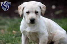 Captain – Labrador Retriever – Yellow Puppies for Sale in PA | Keystone Puppies