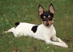"Her ancestors were ,Smooth Fox Terrier with some chihuahua and Manchester Terrier mixed in, but this clever pup can proudly claim to be ""made in the USA."" Description from pinterest.com. I searched for this on bing.com/images"