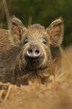Puzzlewood, Forest of Dean, Gloucestershire, England | Wild Boar (Sus Scrofa) Female in Woodland Undergrowth, Forest of Dean ...
