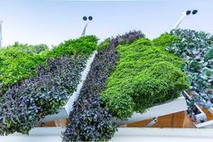 Looking up at the world's largest living food-producing green wall at the USA Pavilion in Milan.