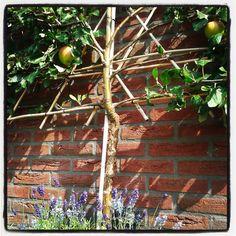 klein geluk 2: zet een fruitboom in je tuin