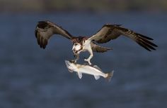Amazing Image of an Osprey in Flight with a huge spotted sea trout that looks almost too big for the osprey to carry while in flight!