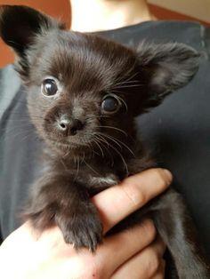 langharige zwarte chihuahua