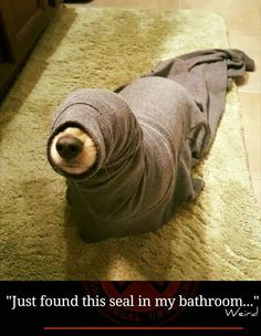 """Haha! Perhaps the """"seal"""" is bored and needs to get out for a walk! Don't forget to use a dog harness to prevent choking and pulling. You can find a great selection at www.chic-dog-boutique.com."""