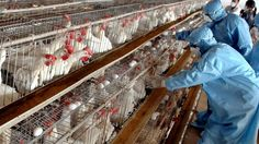 India free from Highly Pathogenic Avian Influenza H5N1 and H5N8 :http://gktomorrow.com/2017/07/07/india-influenza-h5n1-h5n8/