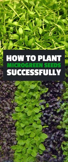 Learn how to plant microgreen seeds to grow your own healthy, fun miniature greens! Part of an Epic Gardening series on growing microgreens. growing diy Guide to Growing Microgreens