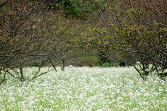 Cuối tháng 11, khi mà Hà Giang đã qua mùa hoa tam giác mạch, dân du lịch lại tìm đến Mộc Châu để thưởng thức mùa hoa nơi thảo nguyên bao la này.