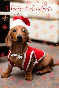 Christmas Dachshund Dog Merry Christmas Card Puppy Holiday Dogs Santa Claus Dog Puppies Xmas